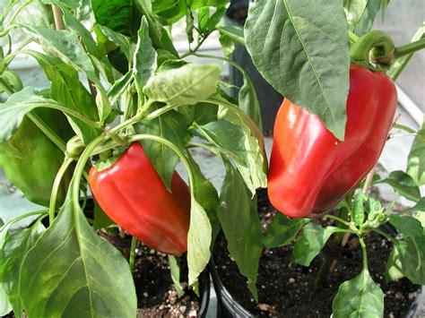 growing peppers growin crazy acres