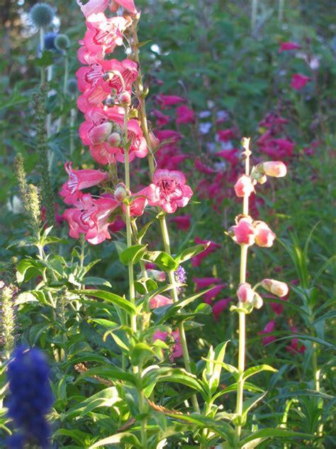 Benihbijibibit Bunga Penstemon Tubuar Bells penstemon hartwegii tubular bells bee garden