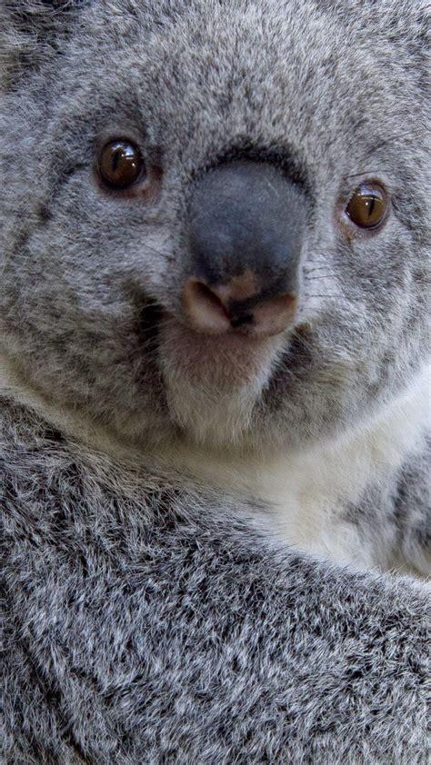wallpaper iphone koala koala 3 wallpaper for iphone x 8 7 6 free download on