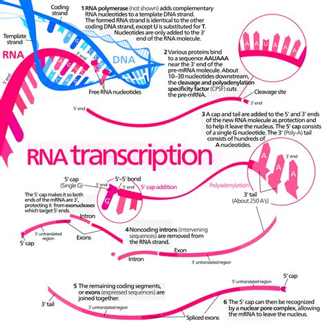 transcription biology wikipedia