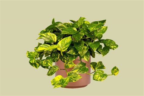 small house plants epipremnum aureum small rooted plant cutting small house