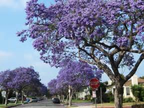 tree with purple flowers l a places jacarandas