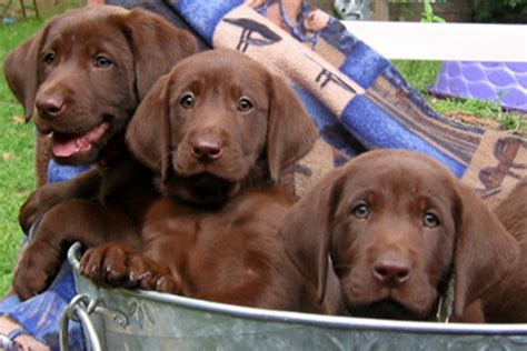 chocolate retriever puppy chocolate brown labrador retriever puppies for sale breeds picture