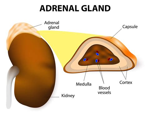adrenal gland diagram adrenal gland structure location and hormones
