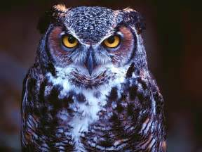 owl wallpapers high definition wallpapers cool nature