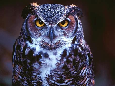 owl wallpapers high definition wallpaperscool nature