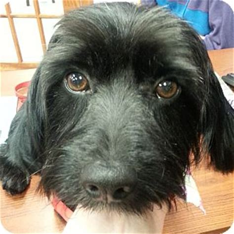 havanese rescue illinois adoption pending winston adopted romeoville il havanese scottie scottish