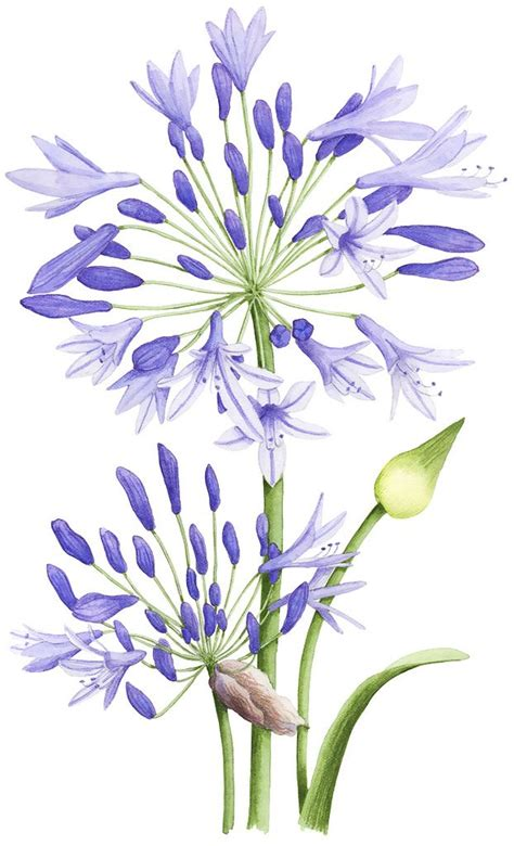 libro botanical painting in gouache 17 best images about botanical watercolor on watercolors antiques and edith holden