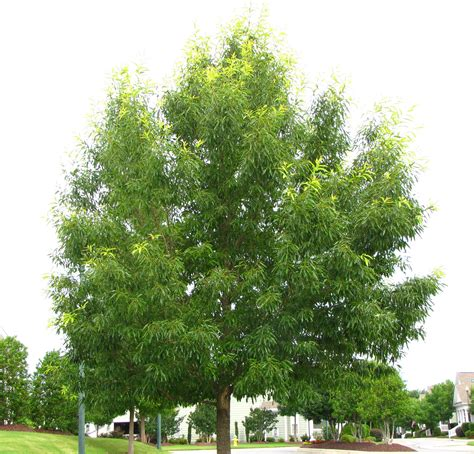 pictures of trees sawtooth oaks quercus acutissima at falls lake news