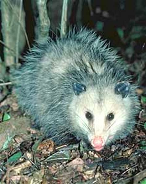 garden animal pests pest library opossums garden org