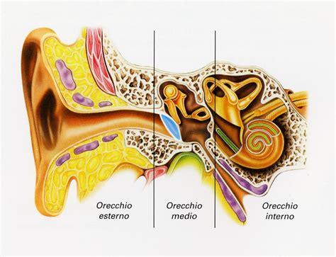 infiammazione orecchio interno salute scoperto gene isl1 efficace nella protezione