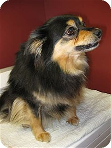 pomeranian and sheltie mix photo of a 1 month mixed cardigan corgi the newborn breeds picture