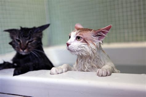 cat bathtub have you ever thought why cats afraid of or hate water
