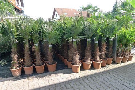 gro e terrasse gem tlich gestalten palmen f 252 r balkon 6 winterharte palmen sonstiges f r den