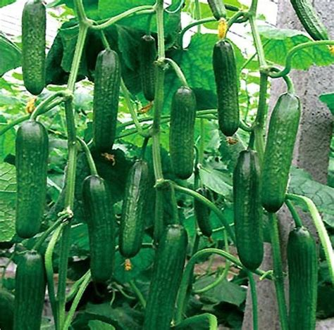 Cucumber Garden by Cucumber Selling 30 Seeds Fruit Cucumber Cuke Green