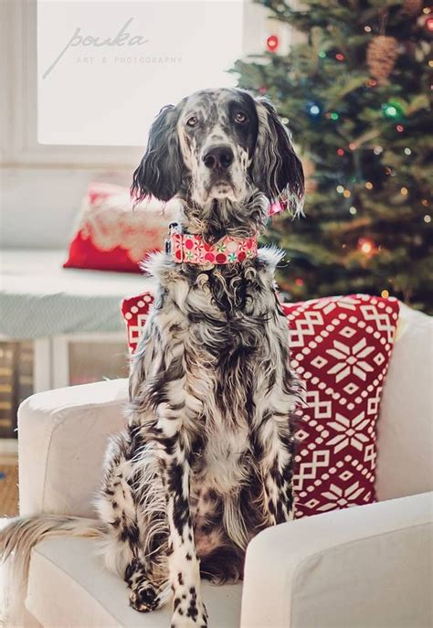 english setter dog food christmas english setter ryman setter pet photography