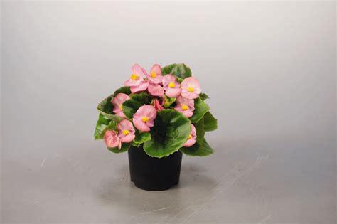 begonia semperflorens super olympia 174 pink annual benary