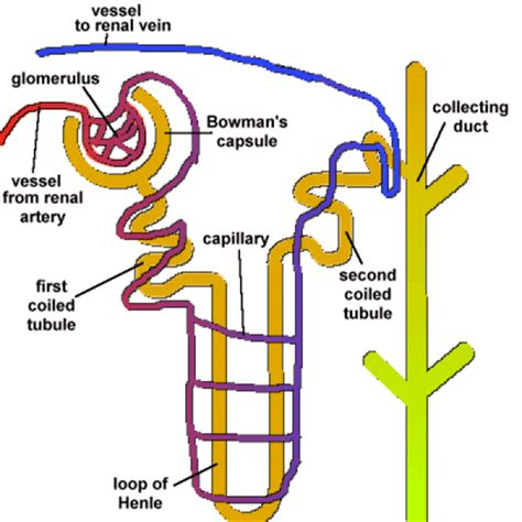 which section of the nephron filters blood plasma gcse biology the nephron