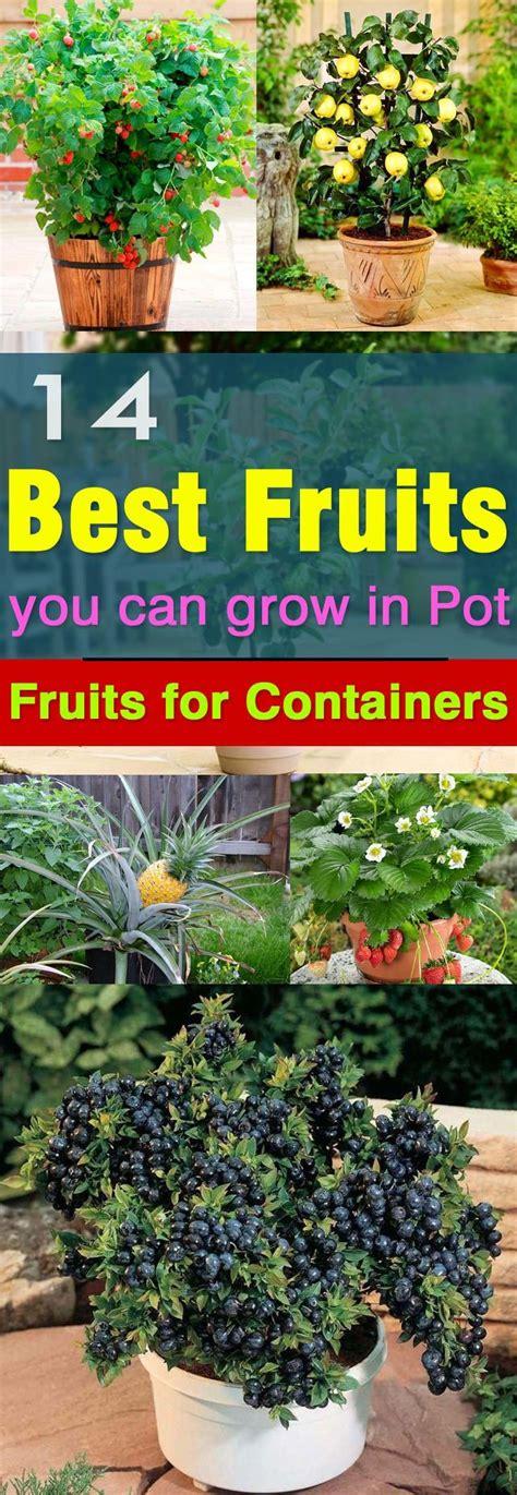 fruits  grow  pots balcony herb gardens patio