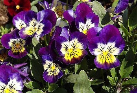 foto fiore viola fiore viola piante annuali caratteristiche della viola