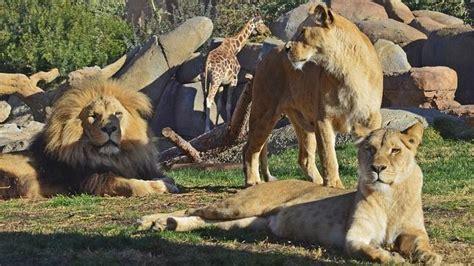 imagenes manada leones manada de leones en bioparc valencia abc es