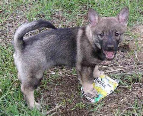 vallhund puppies swedish vallhund info temperament care puppies pictures