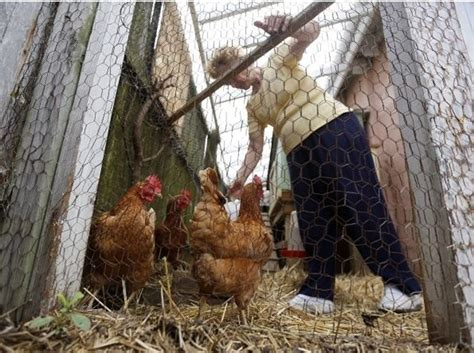 Backyard Chickens And Rabbits Backyard Hens Rabbits And Goats May Be Allowed Statewide