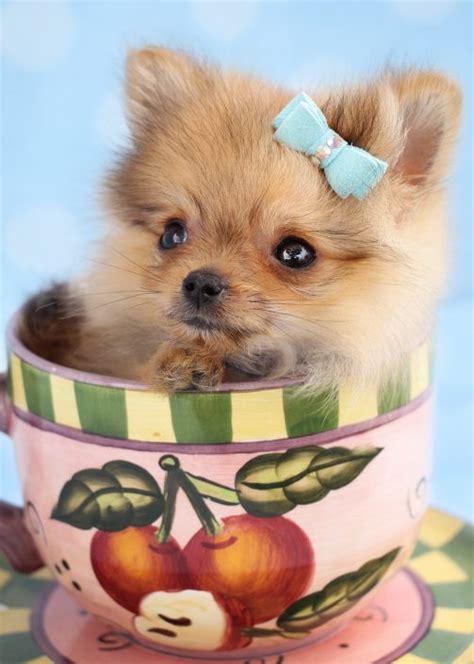 tiny pomeranians teacup pomeranian puppies for sale florida design bild