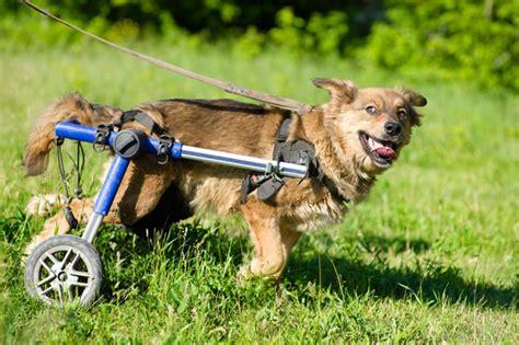 sedia a rotelle per cani mysocialpet arkansas gli studenti imparano a costruire