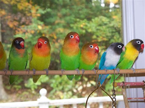 For Lovebird image gallery lovebirds