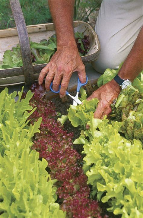 Cut And Come Again Lettuce Sler Of Colorful Varieties Vegetable Garden Magazine