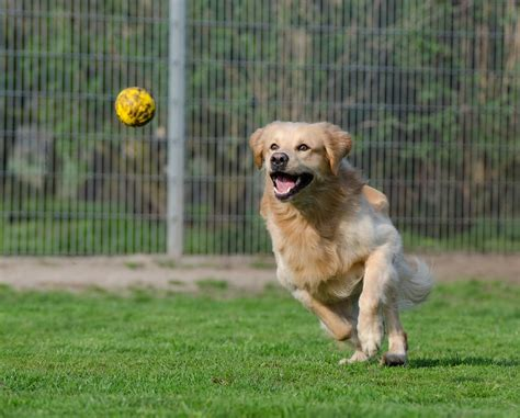 golden retriever animal shelter free photo golden retriever animal shelter free image on pixabay 750592