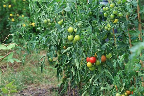 tomato tree a gardener s terminology breaking the code rainbow gardens