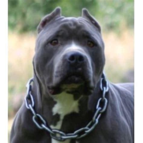 pitbull puppies oregon dejah bleu kennels american pit bull terrier breeder in cave junction oregon