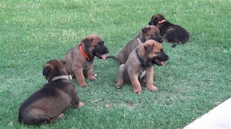 belgian malinois puppy for sale belgian malinois puppies for sale expected december 2013