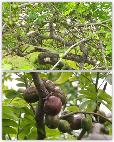 7 trees that look great in both the fall and the winter siniguelas plum t point out enough of the similar fruits both growing on aruba