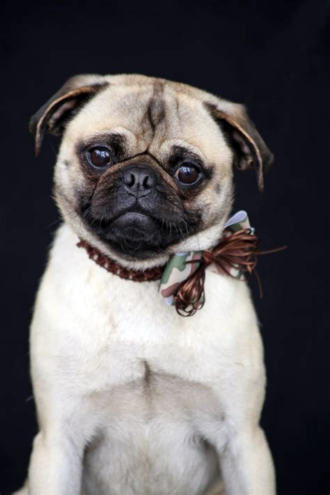 average pug size pug breed information