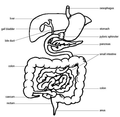 Fetal Pig Stomach Diagram Nivoteamfo