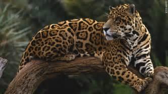 Jaguar Photography Tips For Jaguar Spotting In Belize Cnn