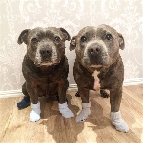 Adorable pit bull brothers will instantly make your day better bored panda