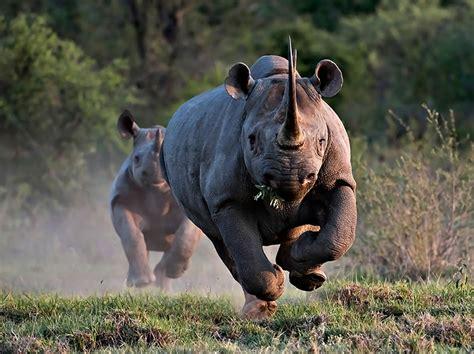 black rhino rhinoceros tejanimals
