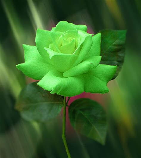 beautiful green color true green roses artline feel the creation