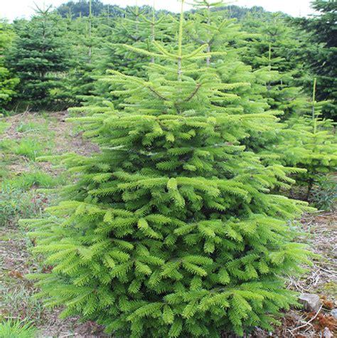 weinachtsbaum kaufen weihnachtsbaum nordmanntanne ca 125 cm tannenladen ihren weihnachtsbaum kaufen
