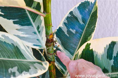 propagate  rubber plant  air layering