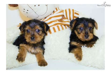 yorkie poo puppies for sale sc pin yorkie poo puppies for sale in sc wings on breeds picture