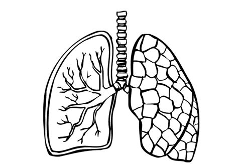 coloring pages of heart and lungs human body outline printable cliparts co