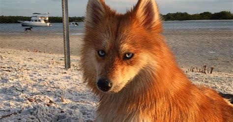 pomeranian like a this is a pomeranian husky mix and it looks like a magical fox