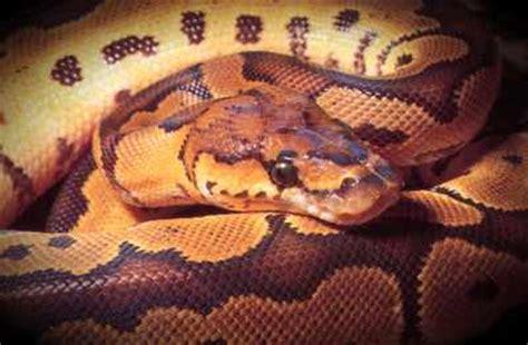 alimentazione pitone reale pitone reale boidi serpenti rettili teche attrezzature