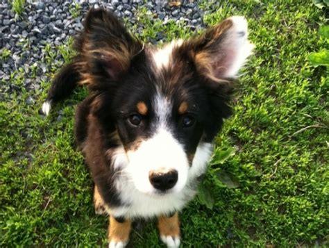 border collie rescue puppies mid atlantic border collie rescue