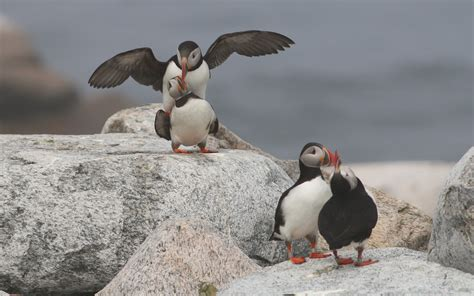 puffin ponderings from a castaway the seal island effect